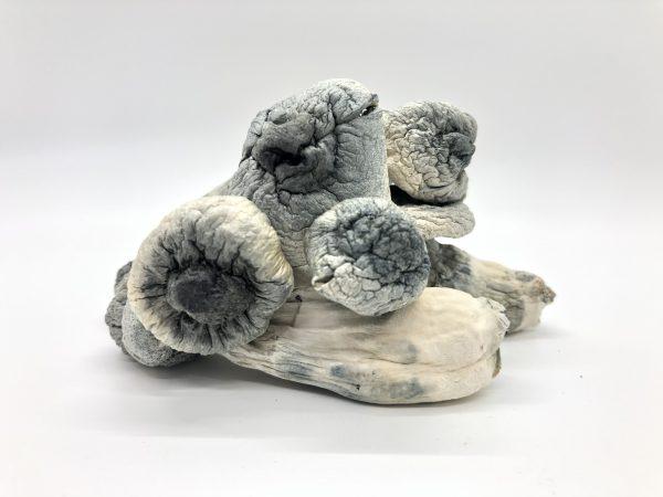 Albino Penis Envy Magic Mushroom
